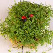 Stock Photo: Fresh garden cress with ladybugs close-up on wooden table