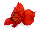Alstroemeria red flower isolated on white — Stock Photo