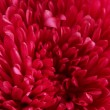 Pink aster flower, close up — Stock Photo #14790801