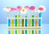 Flowers in test tubes isolated on blue background — Stock Photo