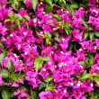 Purple bougainvillea flower close-up — Stock Photo #14944497
