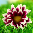Bud of pink chrysanthemums on the green grass close-up — Stock Photo