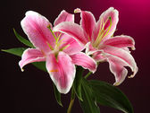 Beautiful lily, on pink background — Stock Photo