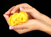 Yellow rose with woman's hands on black background — Photo