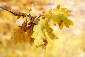 Twig of oak with autumn leaves, on yellow background — Stock Photo