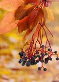 Helle herbstszenen mit wilde trauben auf gelbem grund — Stockfoto