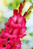 Piękny bukiet gladioluses różowy, na zielonym tle — Zdjęcie stockowe