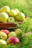 Basket of fresh ripe apples in garden on green grass — Stock Photo