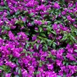 Purple bougainvillea flower close-up — 图库照片