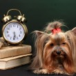 Stock Photo: Beautiful yorkshire terrier surrounded by antiques on colorful background