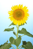 Tournesol sur fond bleu — Photo