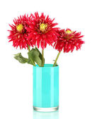 Beautiful red dahlias in vase isolated on white — Stock Photo