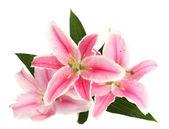 Schöne rosa lilie, isoliert auf weiss — Stockfoto