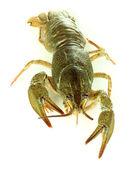 Alive crayfish isolated on white close-up — Stock Photo