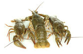 Alive crayfishes isolated on white background — Stock Photo