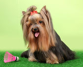 Beautiful yorkshire terrier with lightweight object used in badminton on grass on colorful background — Foto Stock