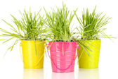 Green grass in buckets isolated on white — Stock Photo