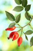 Rosas de quadril maduras no ramo com folhas, sobre fundo verde — Foto Stock