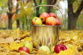 Pail of fresh ripe apples in garden on autumn leaves — Stock Photo