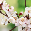Beautiful apricot blossom on green background — Stock Photo