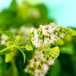 Fresh mint close-up — Stock Photo