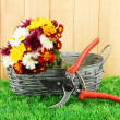 Secateurs with flowers in basket on fence background - Stock Photo
