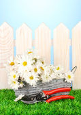Daisies in wicker basket on grass on blue background — Stock Photo
