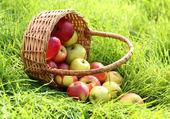 Basket of fresh ripe apples in garden on green grass — Stock Photo