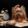 Beautiful yorkshire terrier surrounded by antiques on black background — Stock Photo #15668699