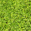 Green lawn close-up — Foto de Stock