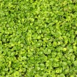 Stock Photo: Green lawn close-up