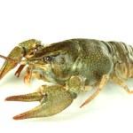 Alive crayfish isolated on white close-up — Stock Photo #15668663