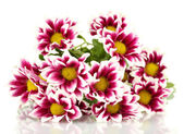 Branch of beautiful purple chrysanthemums on white background close-up — Stock Photo