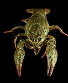 Alive crayfish isolated on black — Stock Photo