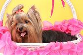 Bella yorkshire terrier nel cesto su sfondo colorato — Foto Stock