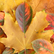 Bright autumn leaves, close up — Stock Photo