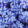 Muscari - hyacinth close-up — Stock Photo