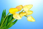 Beautiful tulips on blue background — Stock Photo