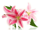Hermoso lirio rosa, aislado en blanco — Foto de Stock