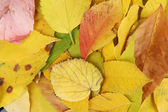 Bright autumn leaves close-up background — Stock Photo
