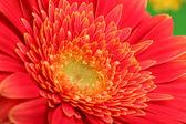 Beautiful gerbera flower, close up — Stock Photo