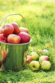 Pail of fresh ripe apples in garden on green grass — Stock Photo