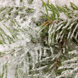 Spruce covered with snow — Stock Photo #15836423