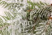 积雪覆盖的云杉 — 图库照片