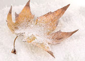 Fallen leaf on snow — Stock Photo