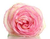 Beautifu pink rose, isolated on white — Stock Photo