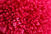 Pink aster flower, close up — Stock Photo