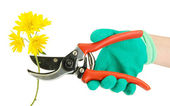 Cutting flower with pruning shears isolated on white — Stock Photo