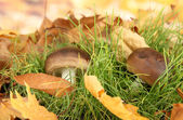 Mushrooms in grass on bright background — Stock Photo