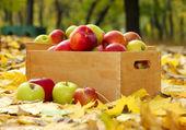 Cajas de manzanas frescas maduras en jardín en hojas de otoño — Foto de Stock